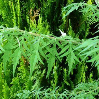 Сумах пушистый Диссекта (typhina Dissecta)-1