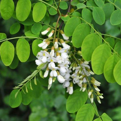 Акация белая (Robinia pseudoacacia)