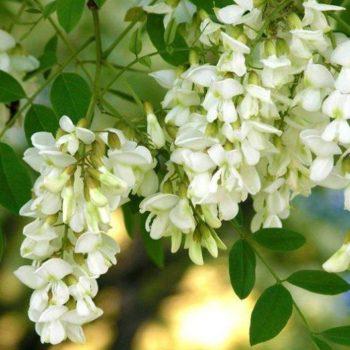 Акация белая (Robinia pseudoacacia)-1