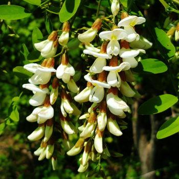 Акация белая (Robinia pseudoacacia)-2