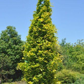 Бук лесной dawyck gold