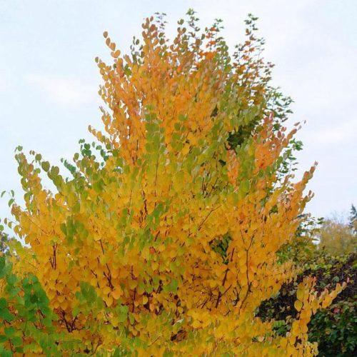 Багряник японский (japonicum)
