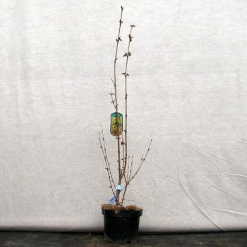Багряник японский (japonicum)-1