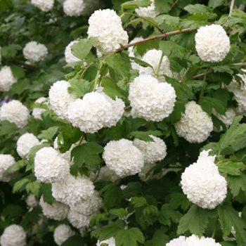 Калина бульденеж roseum-1