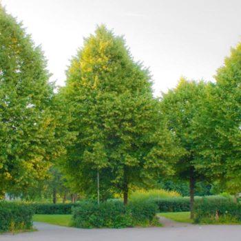 Липа мелколистная (Tilia cordata)-1