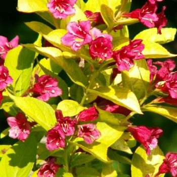 Вейгела цветущая looymansii aurea-1