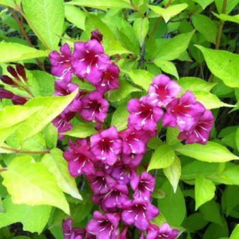 Вейгела цветущая looymansii aurea-2