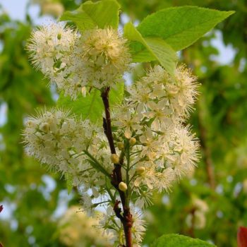 Черёмуха Маака (Prunus maackii)-1
