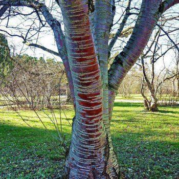 Черёмуха Маака (Prunus maackii)-2