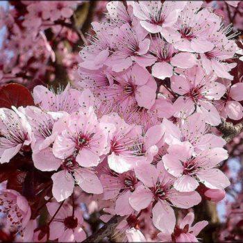 Черёмуха виргинская Шуберт (virginiana Shubert)-1