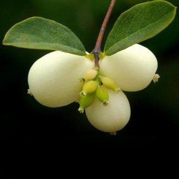 Снежноягодник белый слабоблестящий (albus laevigatus)-1
