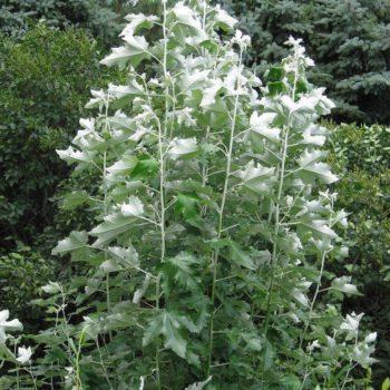 Тополь белый (Populus alba)-1