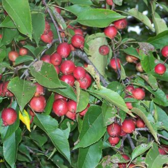 Яблоня Макамик (Makamik)