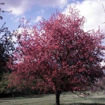 Яблоня Макамик (Makamik)-1