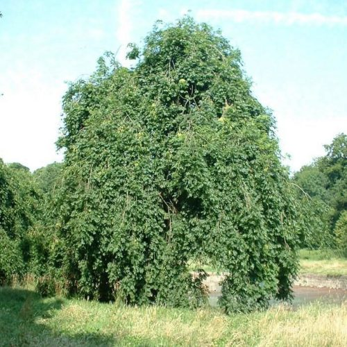Ясень обыкновенный Пендула (Pendula)