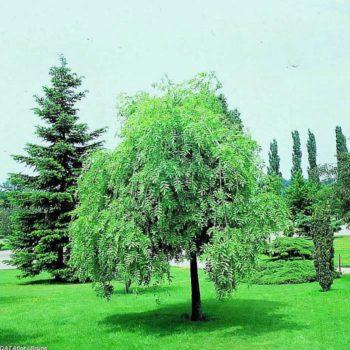 Ясень обыкновенный Пендула (Pendula)-2