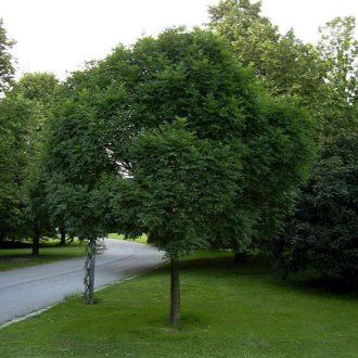 Ясень Обыкновенный Нана (Fraxinus excelsior Nana)