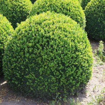 Самшит вечнозеленый-1