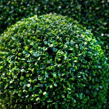 Самшит вечнозеленый-2
