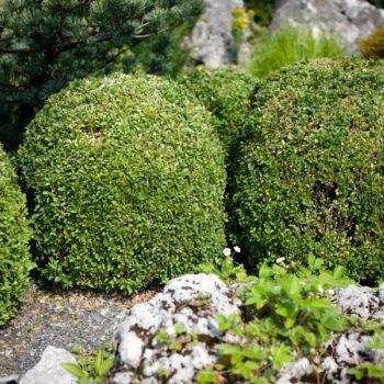 Самшит вечнозеленый Салицифолиа-2