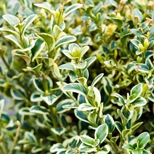 Самшит вечнозеленый Вариегата
