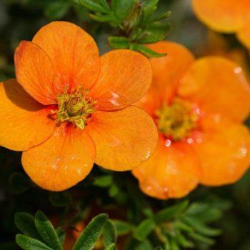 Лапчатка кустарниковая orange star-1