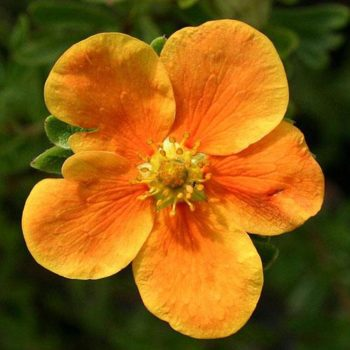 Лапчатка кустарниковая orange star-2