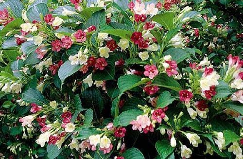 Вейгела цветущая marjorie-2