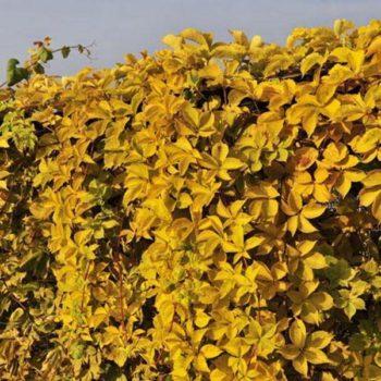Виноград девичий пятилисточковый yellow wall-1