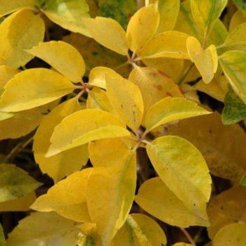 Виноград девичий пятилисточковый yellow wall-2