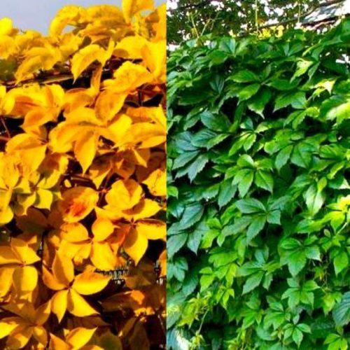 Виноград девичий пятилисточковый yellow wall