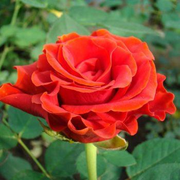 Роза Эль Торо-2