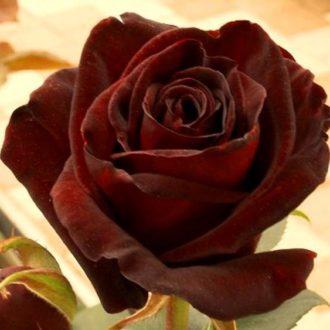 Роза Элегия