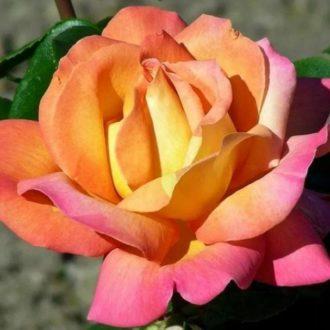 Роза Экстрим