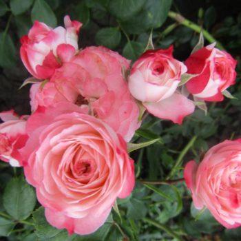 Роза Пат де Велюр-2