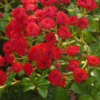 Роза Скарлет Мейяндекор-1