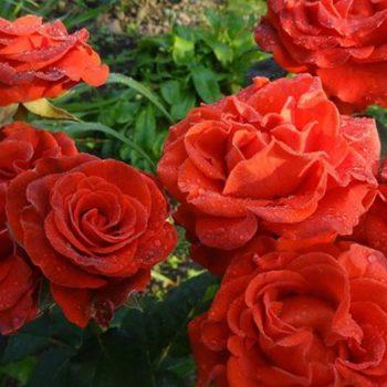 Роза Эль Торо-1