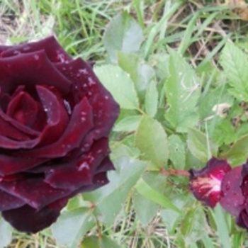 Роза Элегия-1