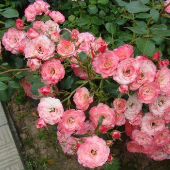Роза Пат де Велюр-1