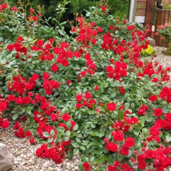 Роза Скарлет Мейяндекор-2