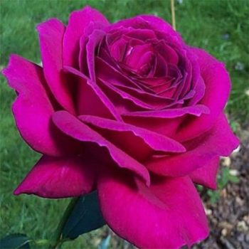 Роза Юрианда-1