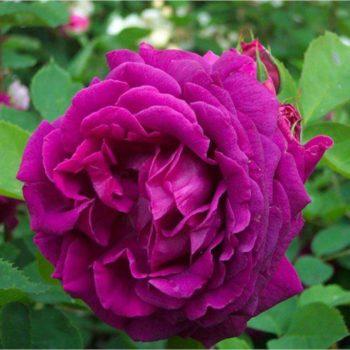 Роза Юрианда-2