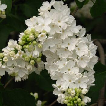 Сирень Флора-1