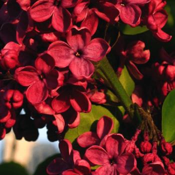 Сирень обыкновенная Красная Москва-2