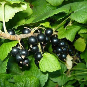 Смородина черная Багира-1