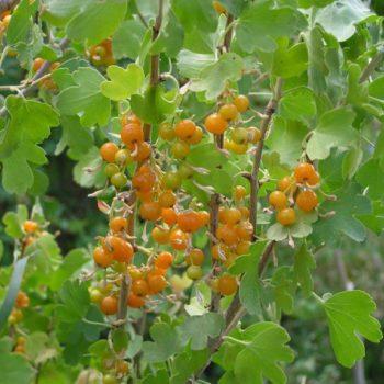 Смородина золотистая Золотая гроздь-1