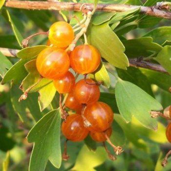 Смородина золотистая Золотая гроздь-2