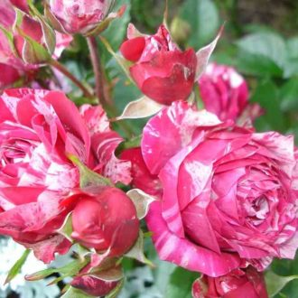 Роза бордюрная Ароу Фолиес