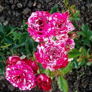 Роза бордюрная Ароу Фолиес-1