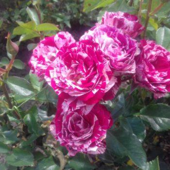 Роза бордюрная Ароу Фолиес-2